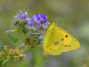 Dark Clouded Yellow butterfly (Colias crocea) on alfalfa (Medicago sativa) flower, Vend�e, France, July. - Loic  Poidevin