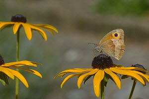 Meadow Brown butterfly (Maniola jurtina) on black-eyed-susans (Rudbeckia hirta) flowers, France, August. - Loic  Poidevin