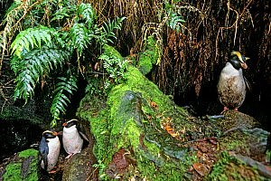 Fiordland Crested Penguin (Eudyptes pachyrhynchus) at nesting site in dense coastal forest. Codfish/Whenua Hou Island, New Zealand. - Tui  De Roy