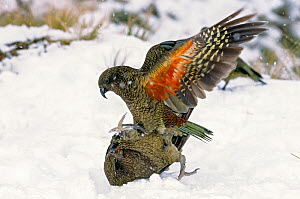 Keas (Nestor notabilis) playing in winter snow storm in alpine habitat. Fox Glacier, Westland National Park, South Island, New Zealand.  -  Tui  De Roy