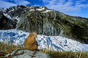 Kea (Nestor notabilis)  in alpine vegetation well above treeline, Fox Glacier, Westland National Park, South Island, New Zealand.  -  Tui  De Roy