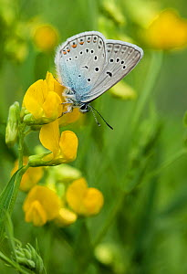 Amanda's blue butterfly (Polyommatus amandus) on Birds foot trefoil (Lotus corniculatus) South Karelia, southern Finland, June. - Jussi  Murtosaari