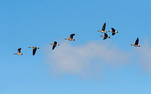 Bean Geese (Anser fabalis) and White-fronted Geese, (Anser albifrons) mixed flock during migration, South Karelia, southern Finland, April.  -  Jussi  Murtosaari