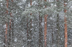 Blizzard in taiga forest, central Finland, February. - Jussi  Murtosaari