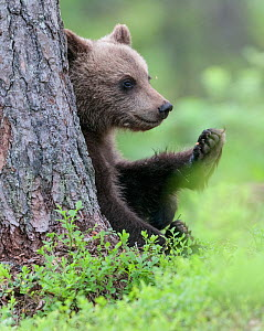 European brown bear (Ursus arctos arctos) young cub, northern Finland, July. - Jussi  Murtosaari