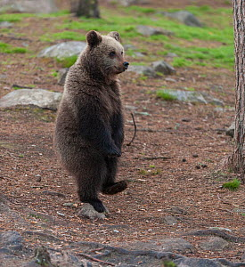 European brown bear (Ursus arctos arctos) standing on one foot, northern Finland, May. - Jussi  Murtosaari