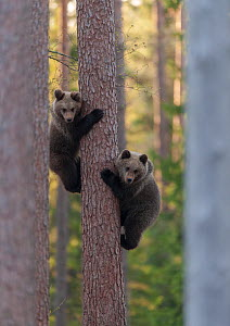 European brown bear (Ursus arctos arctos) two cubs climbing tree, northern Finland, May. - Jussi  Murtosaari