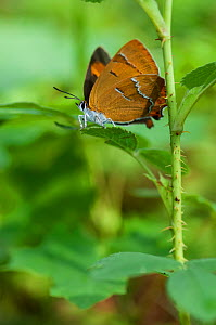Brown Hairstreak butterfly (Thecla betulae) female, Aland Islands, Finland, August. - Jussi  Murtosaari