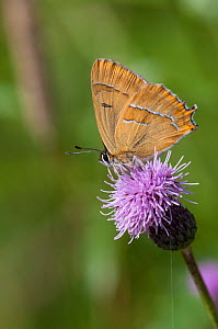 Brown Hairstreak butterfly (Thecla betulae) male feeding on Plume thistle flower, southwest Finland, August. - Jussi  Murtosaari