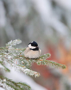 Coal Tit (Periparus ater ater) on snowy fir branch, central Finland, January.  -  Jussi  Murtosaari