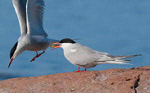 Common Tern (Sterna hirundo) female with Three spined stickleback (Gasterosteus aculeatus) given as courtship offering, southern Finland, May.  -  Jussi  Murtosaari