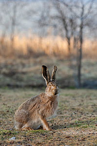 European hare (Lepus europaeus) portrait, central Finland, April.  -  Jussi  Murtosaari