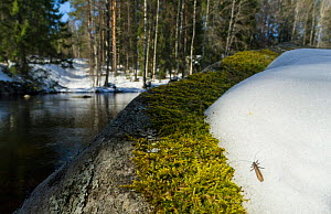 February Red stonefly (Taeniopteryx nebulosa) on snow in spring, besdie water, central Finland, April.  -  Jussi  Murtosaari