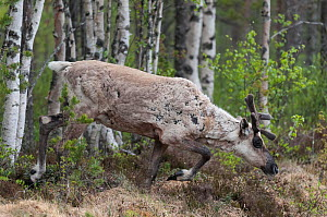 Finnish forest reindeer (Rangifer tarandus fennicus) male moulting in summer, northern Finland, February.  -  Jussi  Murtosaari