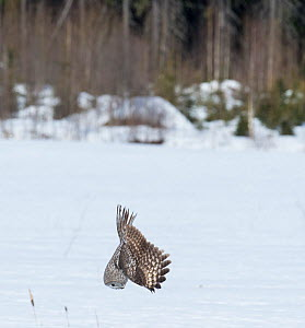 Great Grey Owl (Strix nebulosa) diving for prey, southern Finland, April.  -  Jussi  Murtosaari