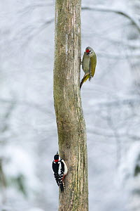 Grey-headed Woodpecker (Picus canus) and Great Spotted Woodpecker (Dendrocopos major) males on tree trunk, southern Finland, January.  -  Jussi  Murtosaari