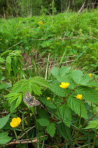 Grizzled Skipper butterfly (Pyrgus malvae) male in its habitat, central Finland, May.  -  Jussi  Murtosaari