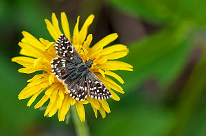 Grizzled Skipper butterfly (Pyrgus malvae) male on flower, central Finland, May. - Jussi  Murtosaari