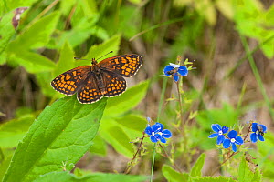Heath Fritillary butterfly (Melitaea athalia) male, South Karelia, southern Finland, June.  -  Jussi  Murtosaari