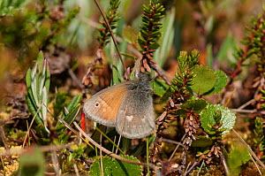 Large Heath butterfly (Coenonympha tullia) central Finland, June. - Jussi  Murtosaari