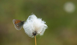 Large Heath butterfly (Coenonympha tullia) on cotton grass, central Finland, June. - Jussi  Murtosaari