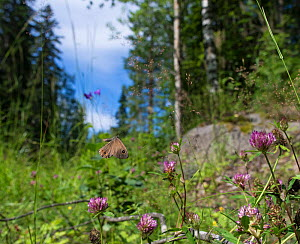 Large Wall Brown butterfly (Pararge maera) male flying in habitat, central Finland, July. - Jussi  Murtosaari