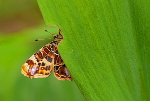 Map Butterfly (Araschnia levana) on leaf, southern Finland, June. - Jussi  Murtosaari