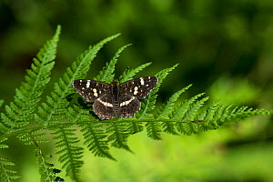 Map Butterfly (Araschnia levana) second generation male on fern, southern Finland, August. - Jussi  Murtosaari