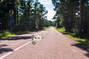 Mountain Apollo butterfly (Parnassius apollo) male flying across road, Aland Islands, Finland, July. - Jussi  Murtosaari