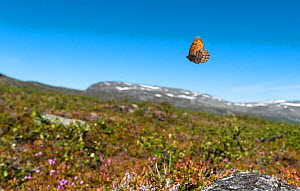 Norse Grayling butterfly (Oeneis norna) flying in habitat, Lapland, Finland, July.  -  Jussi  Murtosaari