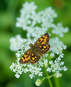 Northern Chequered Skipper, (Carterocephalus silvicola), female on flower - Jussi  Murtosaari