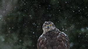 Northern Goshawk (Accipiter gentilis) portrait of female in snow, southern Finland, March. - Jussi  Murtosaari