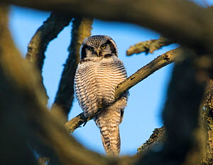 Northern Hawk-Owl (Surnia ulula) seen through branches, southwest Finland, February.  -  Jussi  Murtosaari