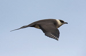 Arctic skua (Stercorarius parasiticus) in flight, Norway, June.  -  Jussi  Murtosaari