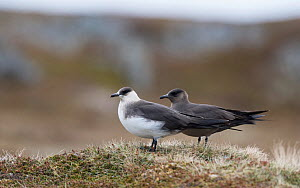Arctic skua (Stercorarius parasiticus) light and dark forms, Norway, June.  -  Jussi  Murtosaari
