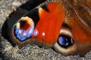Peacock Butterfly (Inachis io) closeup of wings, South Karelia, southern Finland, September.  -  Jussi  Murtosaari