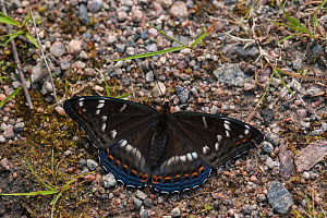 Poplar Admiral butterfly (Limenitis populi) male puddling on road, central Finland, June - Jussi  Murtosaari