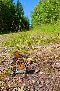 Poplar Admiral butterfly (Limenitis populi) male puddling on road, central Finland, July.  -  Jussi  Murtosaari