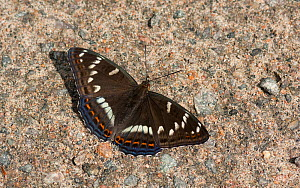 Poplar Admiral butterfly (Limenitis populi) male puddling on road, central Finland, June.  -  Jussi  Murtosaari