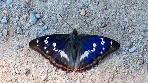 Purple Emperor butterfly (Apatura iris) male puddling on ground, South Karelia, southern Finland, July.  -  Jussi  Murtosaari