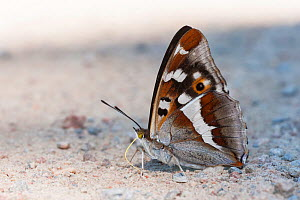 Purple Emperor butterfly (Apatura iris) male puddling, South Karelia, southern Finland, July.  -  Jussi  Murtosaari