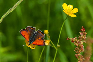 Purple-edged Copper butterfly (Lycaena hippothoe) male feeding on buttercup nectar, South Karelia, southern Finland, June.  -  Jussi  Murtosaari