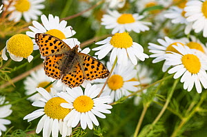 Queen of Spain Fritillary butterfly (Issoria lathonia) on anthemis, southwest Finland, July.  -  Jussi  Murtosaari