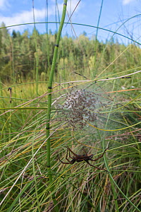 Raft spider (Dolomedes fimbriatus) with a web of spiderlings, Finland, September. - Jussi  Murtosaari