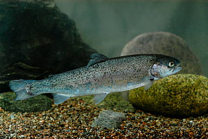 Rainbow trout (Oncorhynchus mykiss) invasive species, native to cold-water tributaries of Pacific Ocean in Asia and North America. Taken in aquarium, central Finland, May.  -  Jussi  Murtosaari