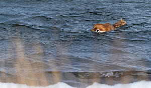 Red Fox (Vulpes vulpes) swiming in sea, southwest Finland, February. - Jussi  Murtosaari