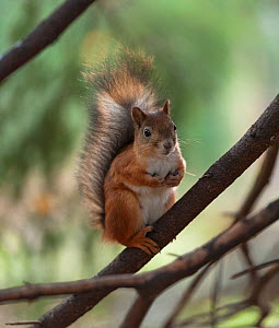Red squirrel (Sciurus vulgaris) portrait, southern Finland, October. - Jussi  Murtosaari