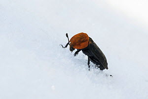 Red-breasted Carrion Beetle (Oiceoptoma thoracica) in snow, central Finland, April. - Jussi  Murtosaari