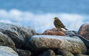 Rock Pipit (Anthus petrosus) on frozen beach, southwest Finland, February.  -  Jussi  Murtosaari
