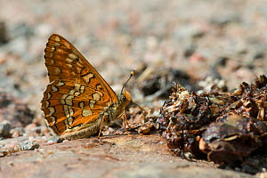 Scarce Fritillary (Euphydryas maturna) drinking nutrients from carcass, Joutsa (formerly Leivonmaki), Finland, June. - Jussi  Murtosaari